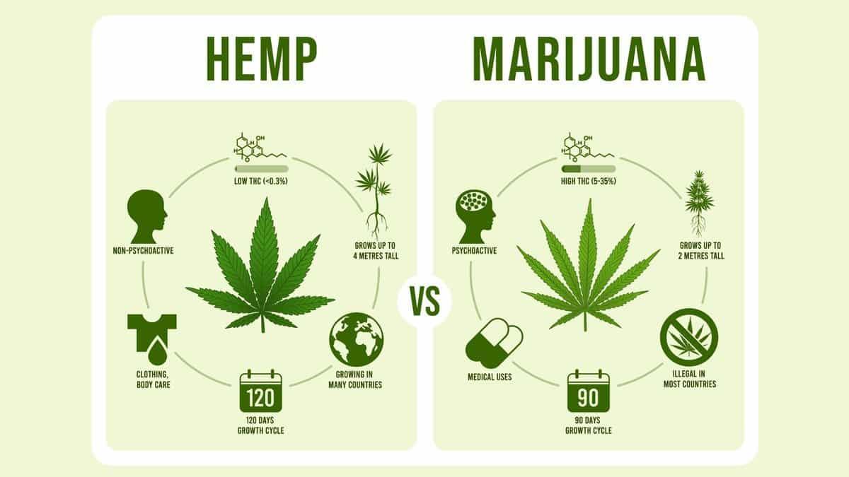 hemp_vs_marijuana